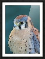 American Kestrel Picture Frame print