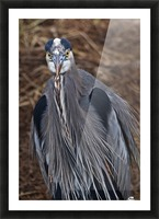 Face on view of great blue heron Picture Frame print