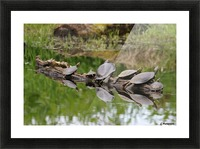 Turtle reflections Picture Frame print