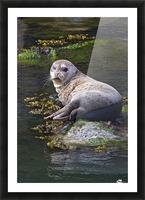 Sea lion portrait near Depoe Bay, OR Picture Frame print