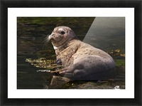Sea lion posing Picture Frame print
