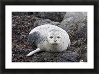 sea lion near Newport, OR Picture Frame print