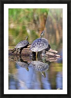 Turtle reflections portrait Picture Frame print
