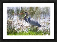 Great Blue Heron profile Picture Frame print