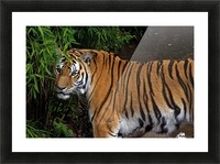 Female Tiger Picture Frame print
