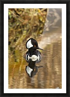 Hooded Merganser Drake Reflection-portrait Picture Frame print