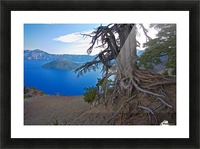 Gnarled White Pine overlooking Crater Lake Aug 2015 Picture Frame print