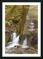 Water flowing through tree roots at Opal Creek Wilderness, Oregon Picture Frame print