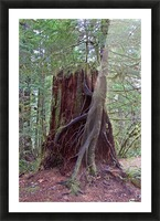 Seedling growing off of Cedar Stump Picture Frame print
