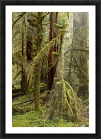 Moss covered tree in the Opal Creek Wilderness, Oregon Picture Frame print