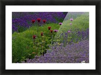 Bee Balm Blooming in Lavender Field Picture Frame print