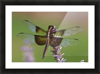 Dragonfly on Lavender Picture Frame print