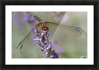 Dragonfly resting on flower. Picture Frame print