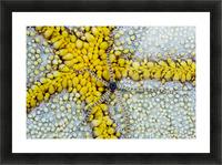 USA, Reticulated Brittle Star (Ophiocoma Brevipes) On Cushion Starfish (Culcita Novaeguineae); Hawaii Picture Frame print