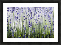 Lavender (Lavandula Angustifolia), Many Sprigs Growing In Field. Picture Frame print