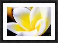Thailand, Phuket, Kata Noi, Close Up Of Plumeria Flower. Picture Frame print