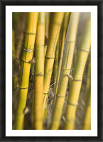Close-Up Of Bamboo Stalks. Picture Frame print