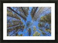 Tree Tops Near Grassi Lake Trail, Alberta Picture Frame print