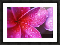 Hawaii, Maui, Extreme Close-Up Purple Pink Plumeria Blossom Water Droplets Aka Frangipani Picture Frame print