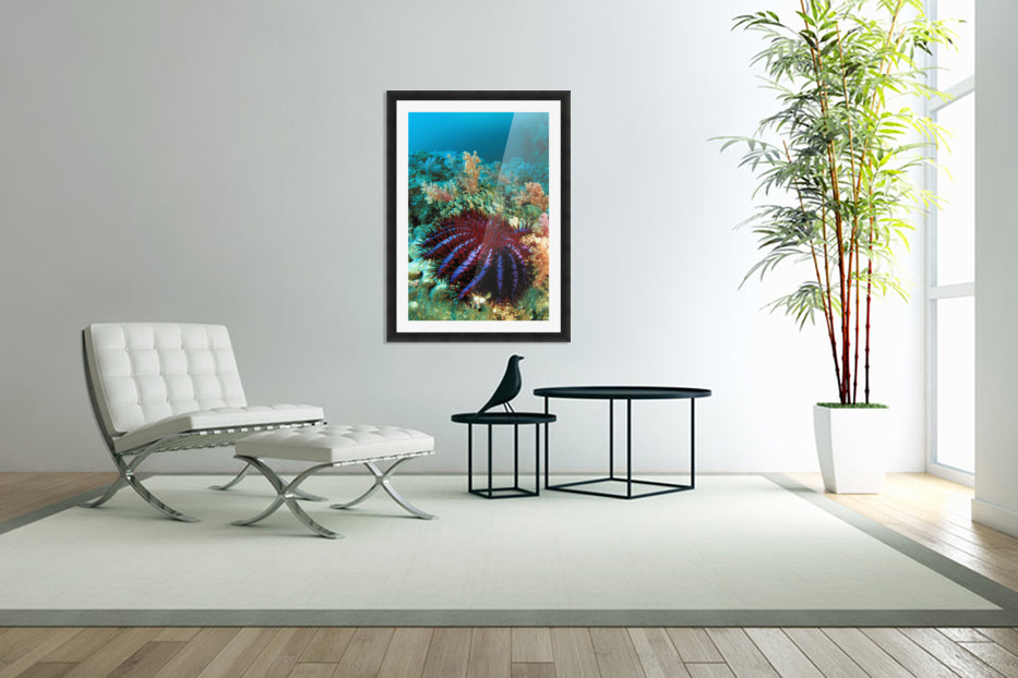 Thailand, Reef Scene With Crown-Of-Thorns Starfish (Acanthaster Planci). in Custom Picture Frame