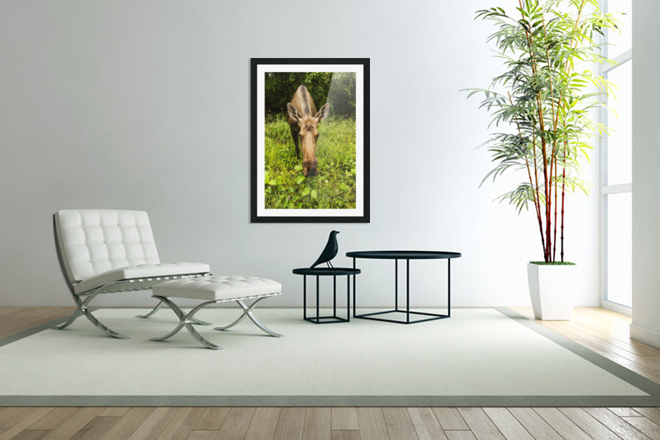 Cow moose (alces alces), close up with a wide angle lense, south-central Alaska; Alaska, United States of America in Custom Picture Frame