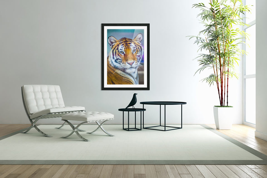 Portrait of Bengal Tiger (panthera tigris tigris) endangered species, captive; Chippewa Falls, Wisconsin, United States of America in Custom Picture Frame