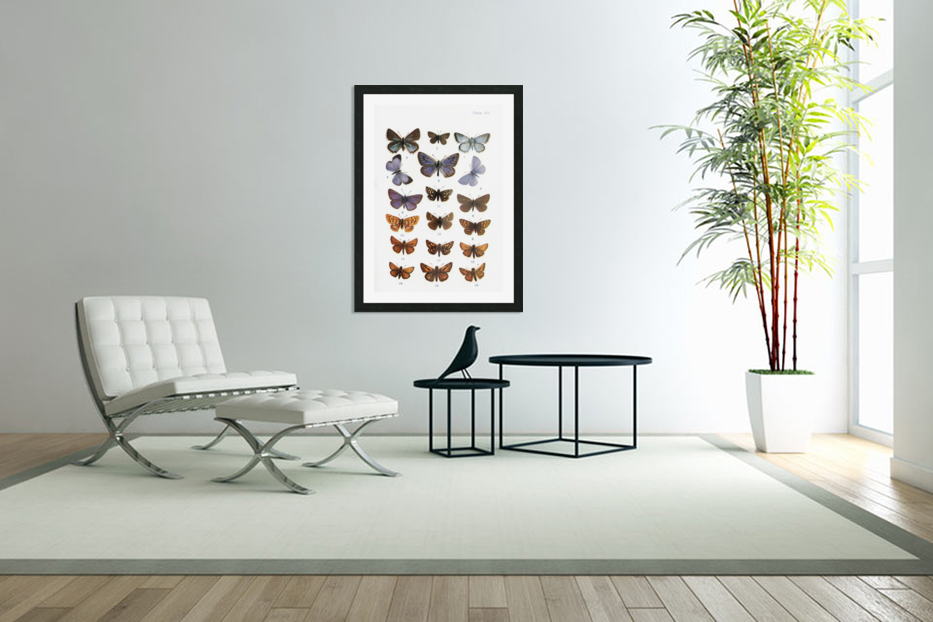 Different types of butterflies. Illustration by W.S.Furneaux. From the book Butterflies, Moths and Other Insects and Creatures of the Countryside. Published 1927. in Custom Picture Frame