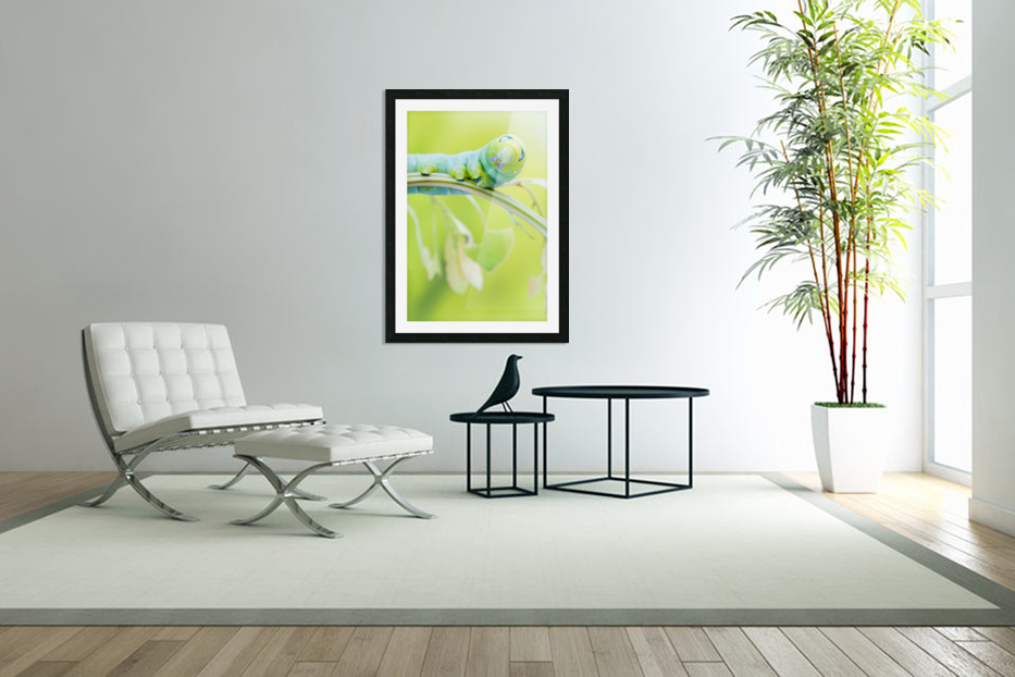 an Daphnis Nerii in Custom Picture Frame