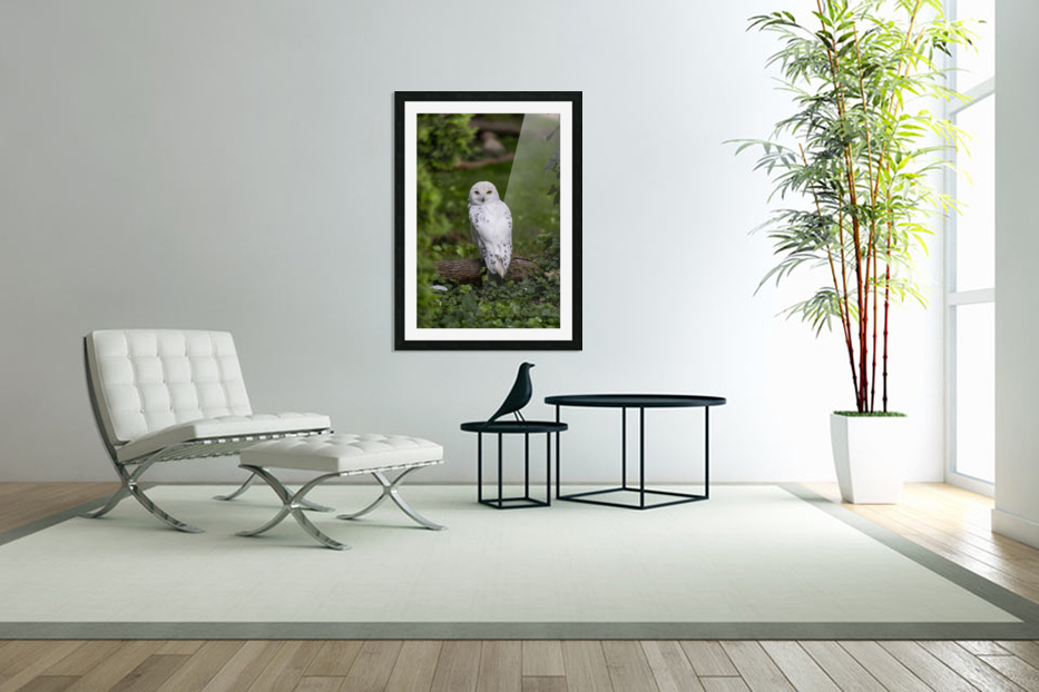 Yellow Eyes  Snow Owl  in Custom Picture Frame