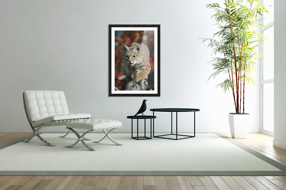 Bobcat (Felis Rufus) Walks Along Branch Through Red Leaves Of A Hawthorn In Autumn; Idaho, Usa in Custom Picture Frame