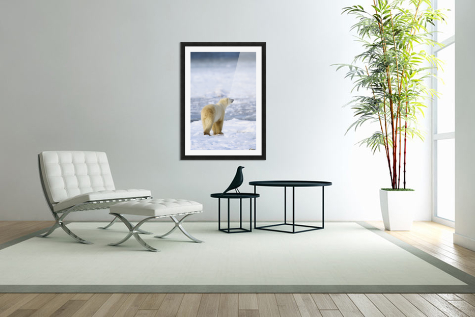 Polar Bear (Ursus Maritimus) Sniffs The Air As He Is On The Hunt For Food; Churchill, Manitoba, Canada in Custom Picture Frame