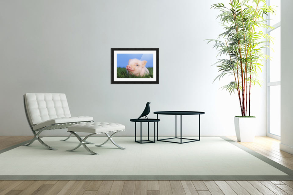 Baby pig lying on grass;British columbia canada in Custom Picture Frame