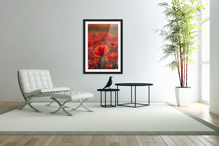 Common Poppy (Papaver rhoeas) covering an arable field; North Yorkshire, England in Custom Picture Frame