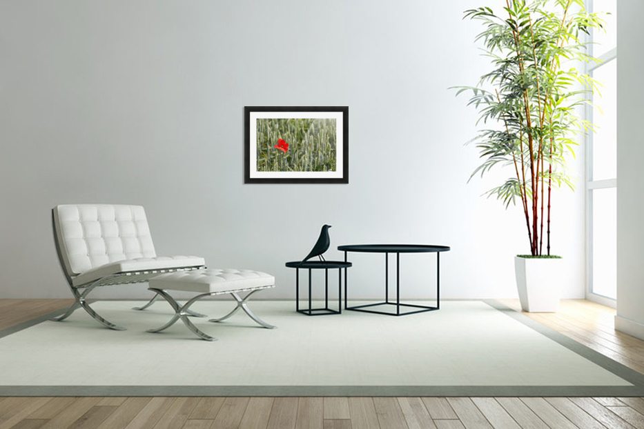 Close up of red poppy in a green wheat field; Brehec, Brittany, France in Custom Picture Frame