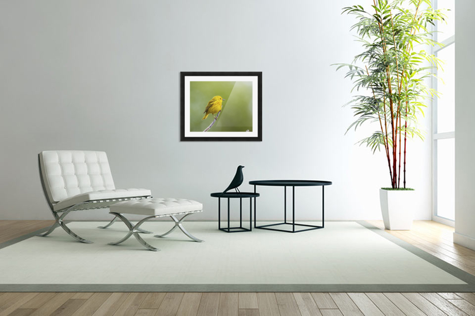 Yellow warbler (Setophaga petechia) perched during spring time; Chateauguay, Quebec, Canada in Custom Picture Frame