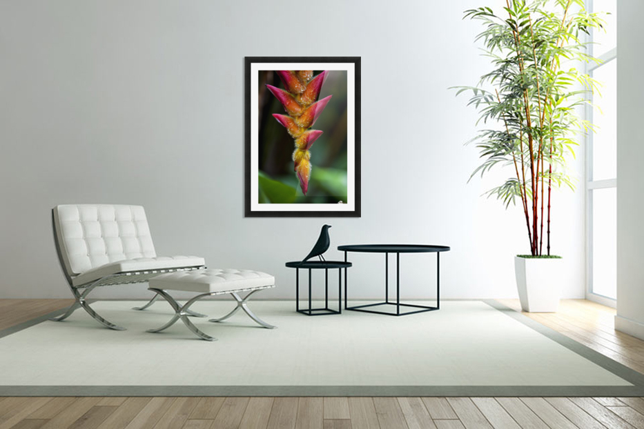 A unique tropical plant with fuzzy red and orange blossoms; Hawaii, United States of America in Custom Picture Frame