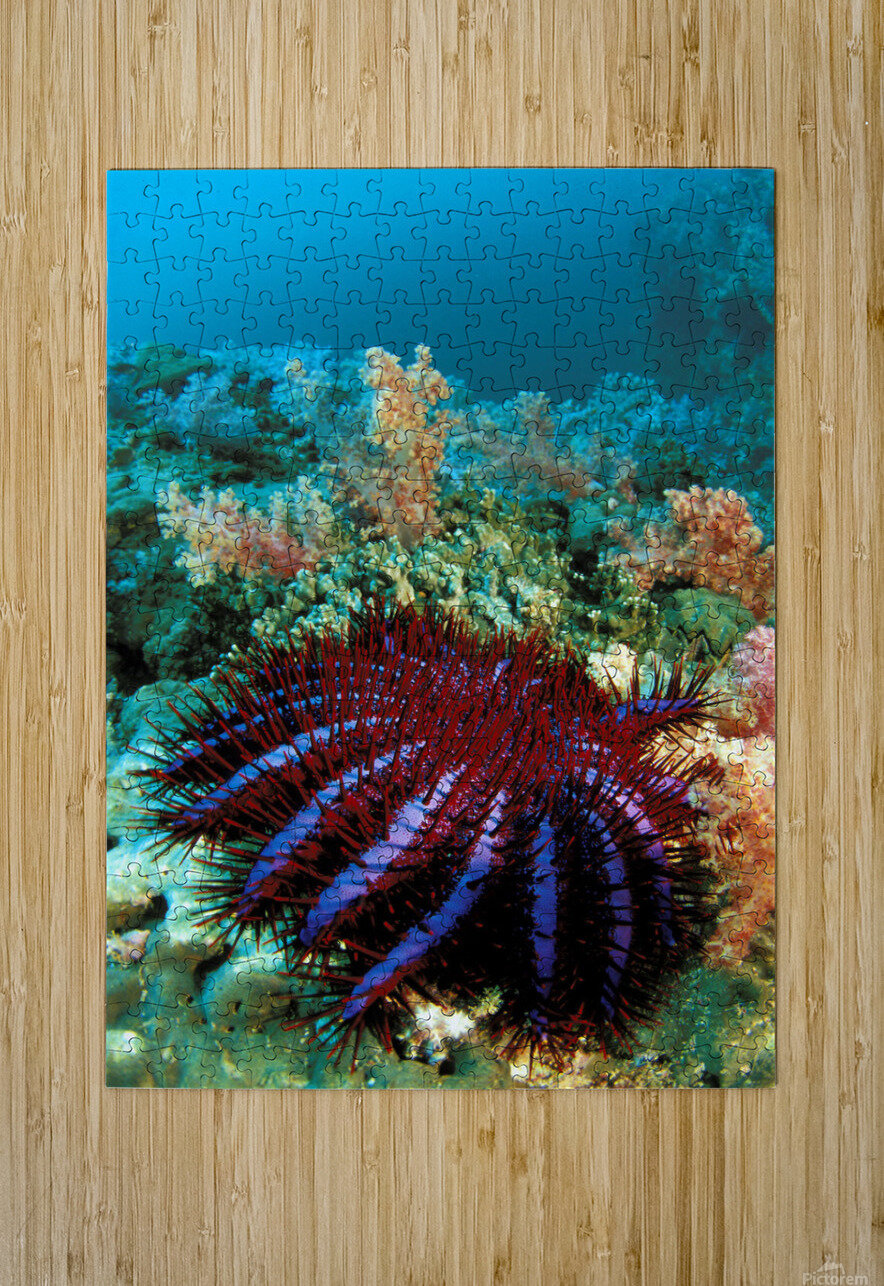 Thailand, Reef Scene With Crown-Of-Thorns Starfish (Acanthaster Planci).  HD Metal print with Floating Frame on Back