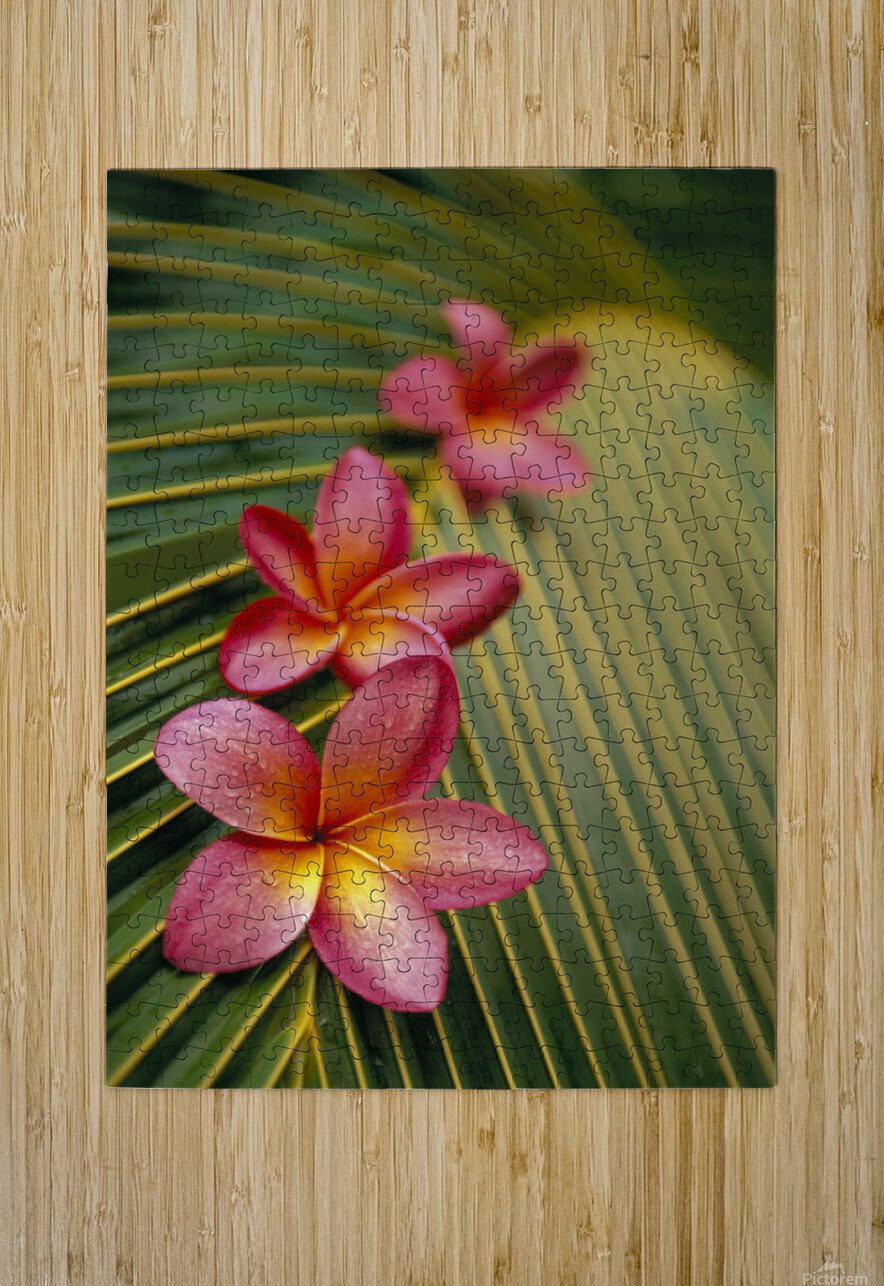 Close-Up Three Pink Plumeria Flowers On Coconut Palm Leaf Selective Focus  HD Metal print with Floating Frame on Back