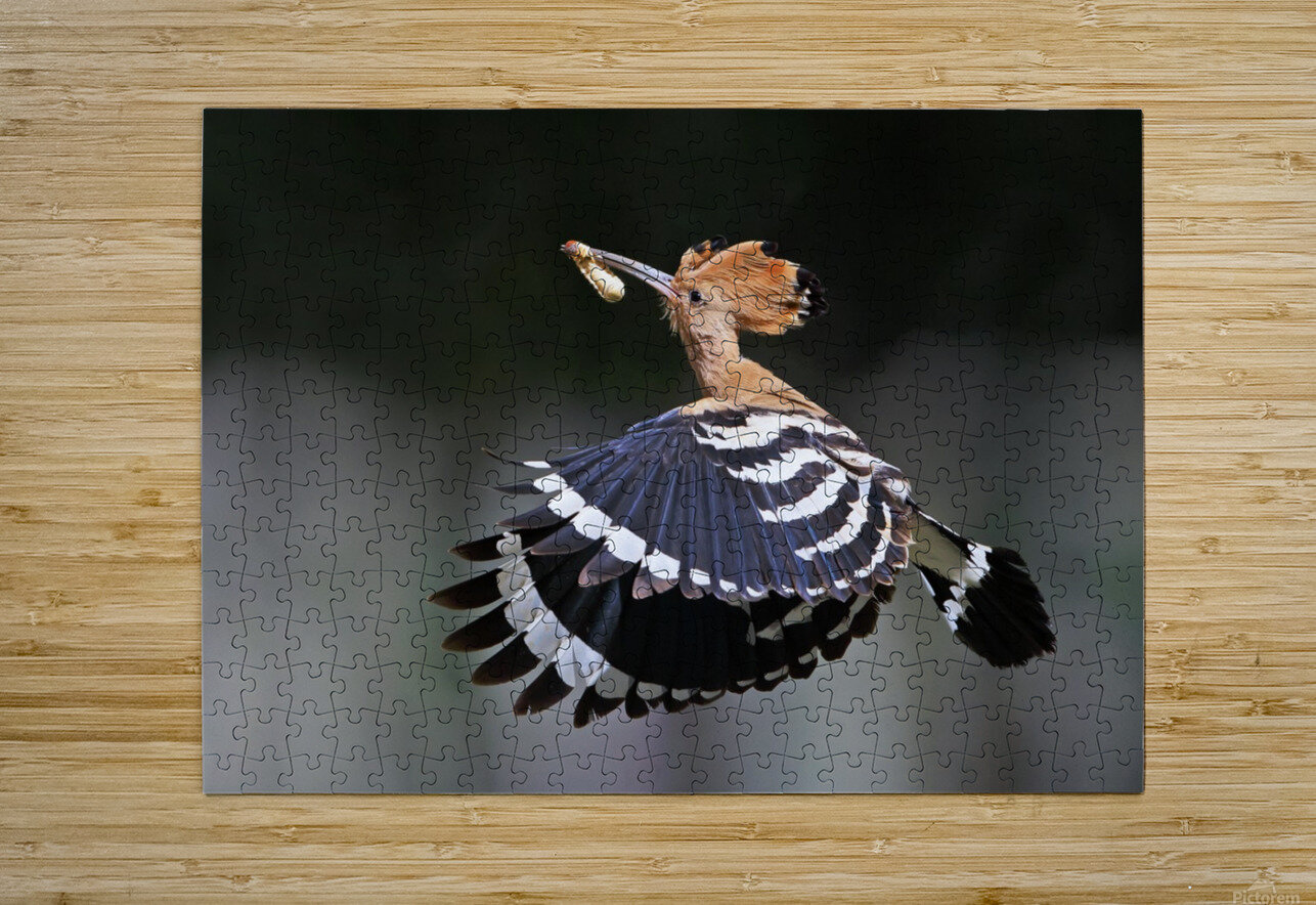 Hoopoe,Feeding..  HD Metal print with Floating Frame on Back