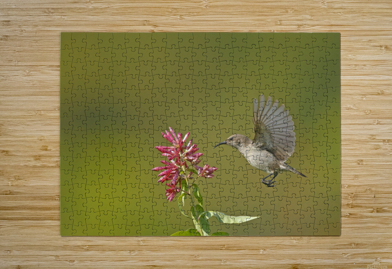 Sunbird  HD Metal print with Floating Frame on Back