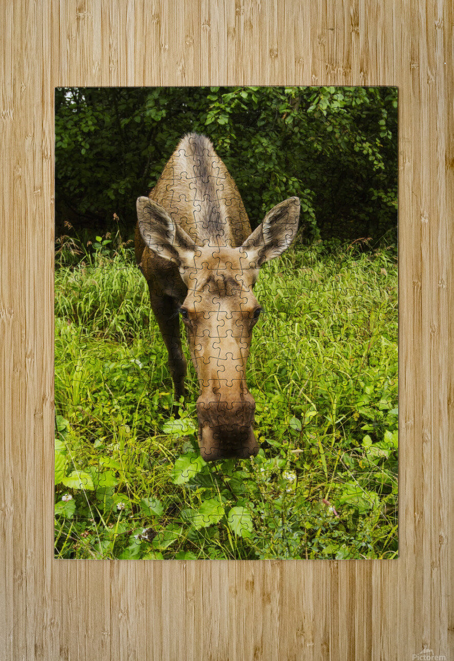 Cow moose (alces alces), close up with a wide angle lense, south-central Alaska; Alaska, United States of America  HD Metal print with Floating Frame on Back