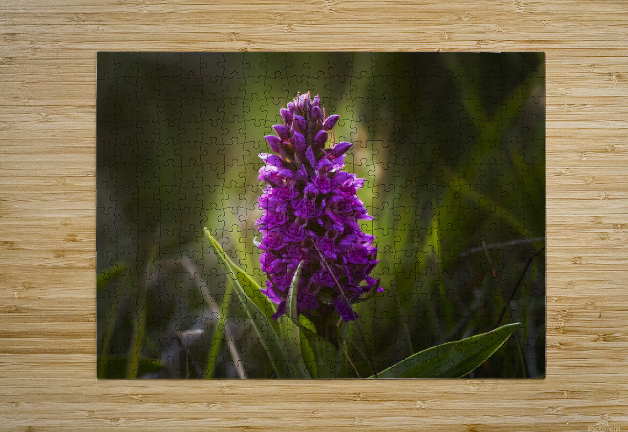 Close up of a pink hyacinth; South Shields, Tyne and Wear, England  HD Metal print with Floating Frame on Back