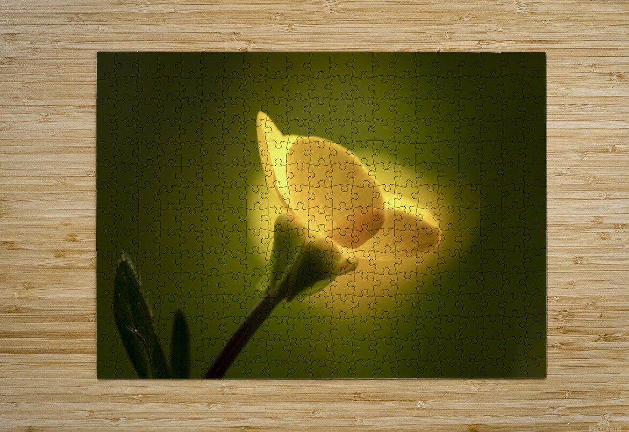 A yellow flower glowing in sunlight; South Shields, Tyne and Wear, England  HD Metal print with Floating Frame on Back