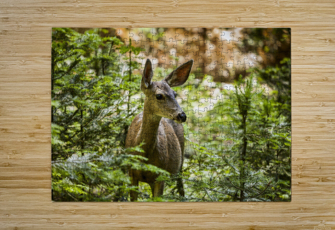 Mule deer (Odocoileus hemionus), Sequoia National Park; California, United States of America  HD Metal print with Floating Frame on Back