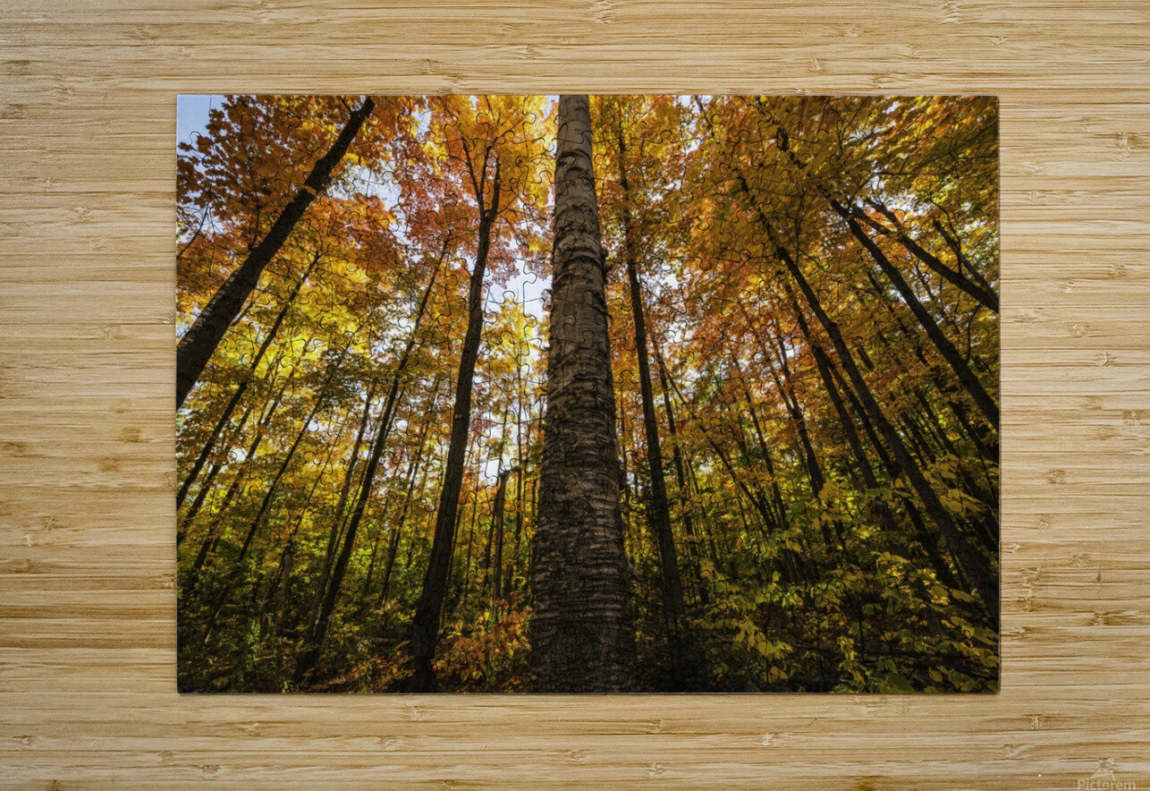 Looking up at the colourful canopy of leaves of Algonquin Park; Ontario, Canada  HD Metal print with Floating Frame on Back