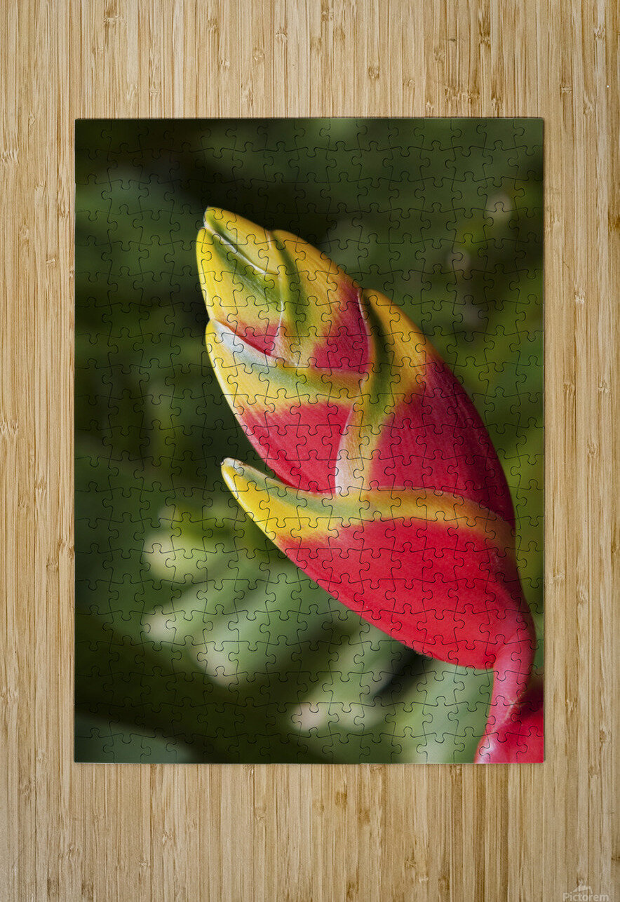 Close-up of lobster-claw heliconia flower; Maui, Hawaii, United States of America  HD Metal print with Floating Frame on Back