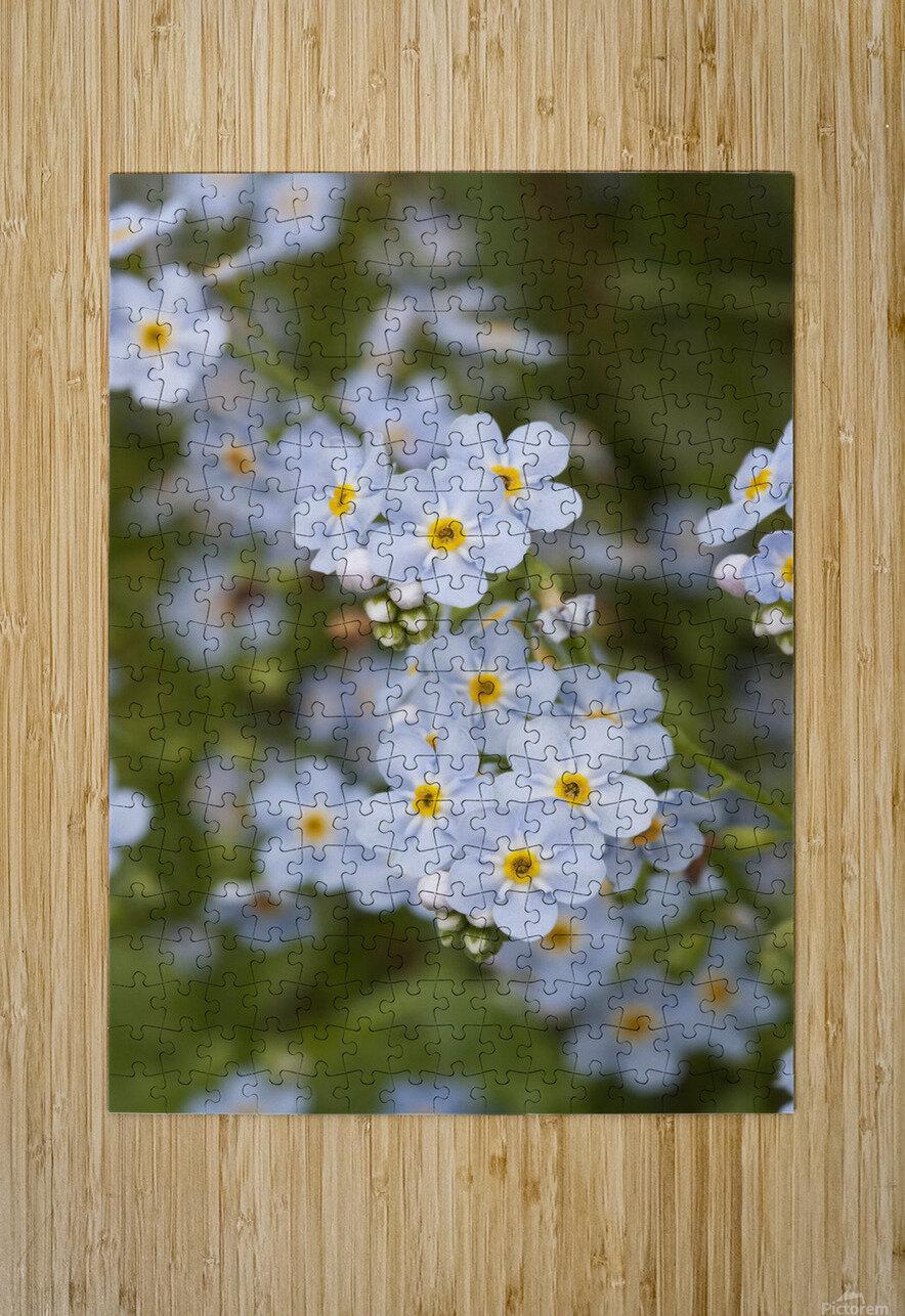 Close Up Of Forget Me Not, Alaska's State Flower, Girdwood, Southcentral Alaska, Summer  HD Metal print with Floating Frame on Back