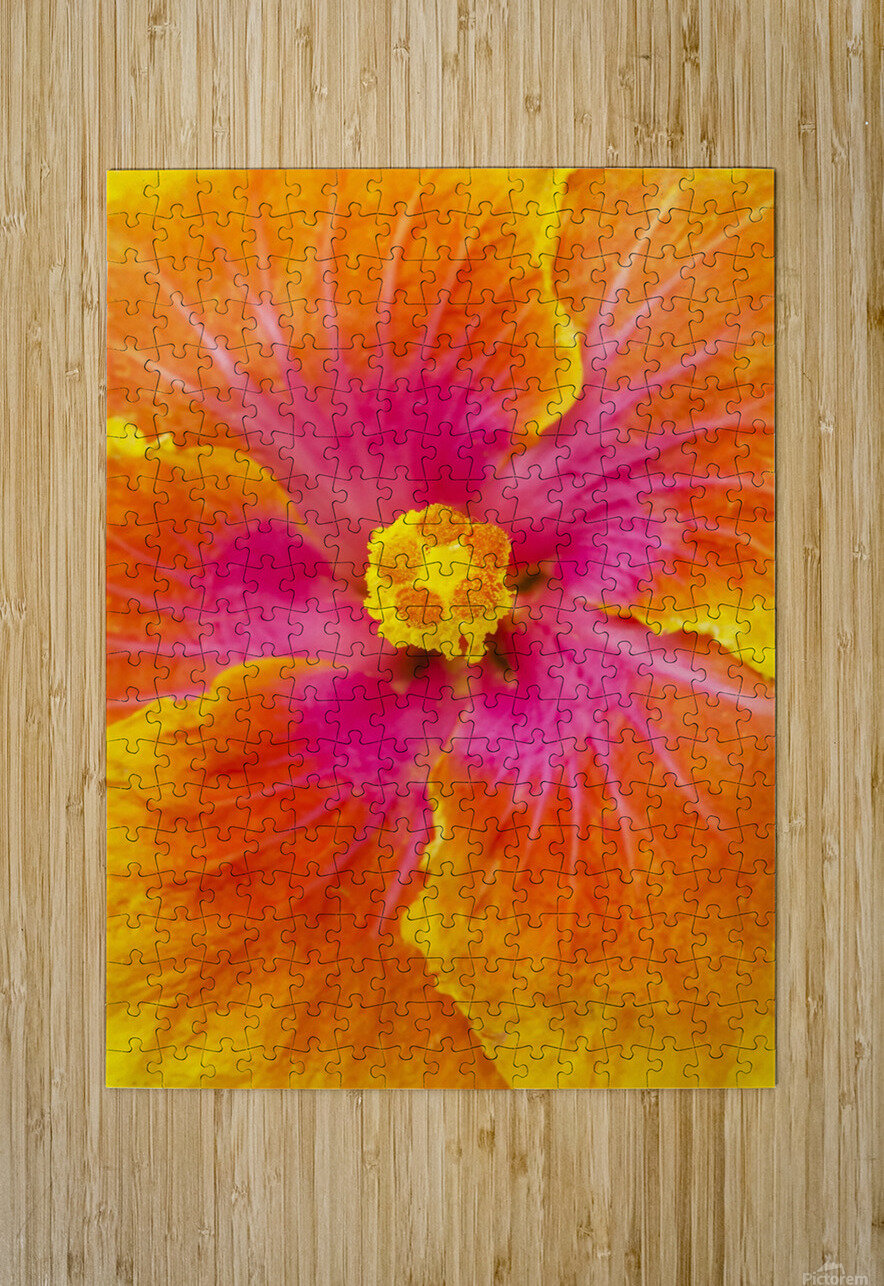 Close-up macro shot of a beautiful orange, pink and yellow Hibiscus flower; Honolulu, Oahu, Hawaii, United States of America  HD Metal print with Floating Frame on Back