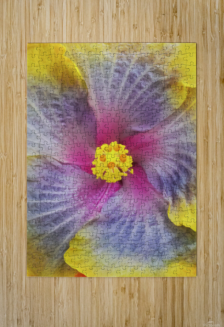 Close-up macro shot of a beautiful lavender, pink and yellow Hibiscus flower; Honolulu, Oahu, Hawaii, United States of America  HD Metal print with Floating Frame on Back