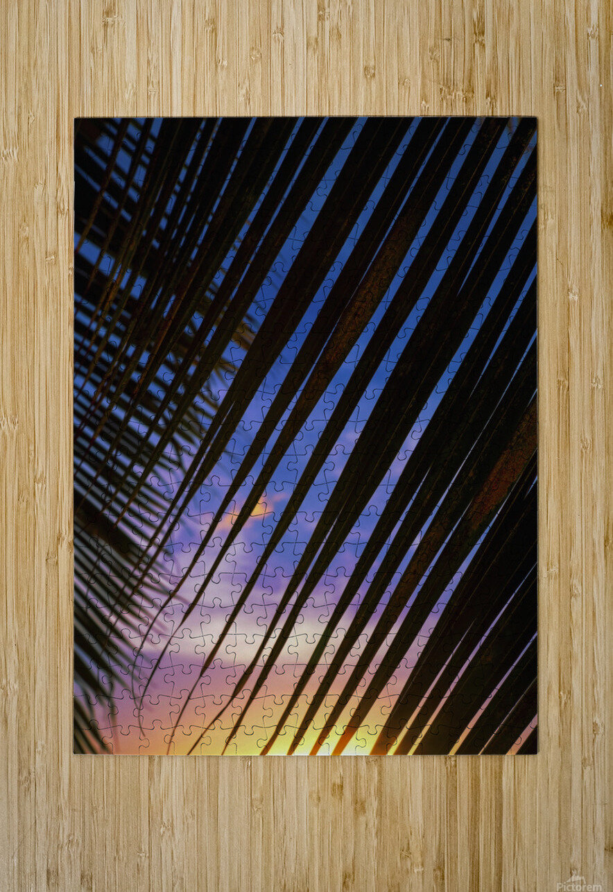 Close-up of silhouetted palm fronds with beautiful sunset color sky in the background; Honolulu, Oahu, Hawaii, United States of America  HD Metal print with Floating Frame on Back